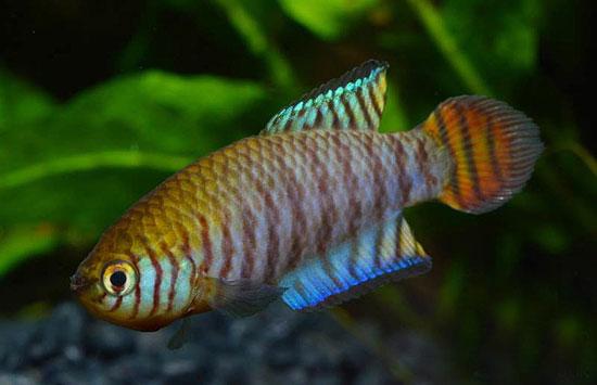 Petites nouvelles de ma fish room... - Page 6 Simpso10