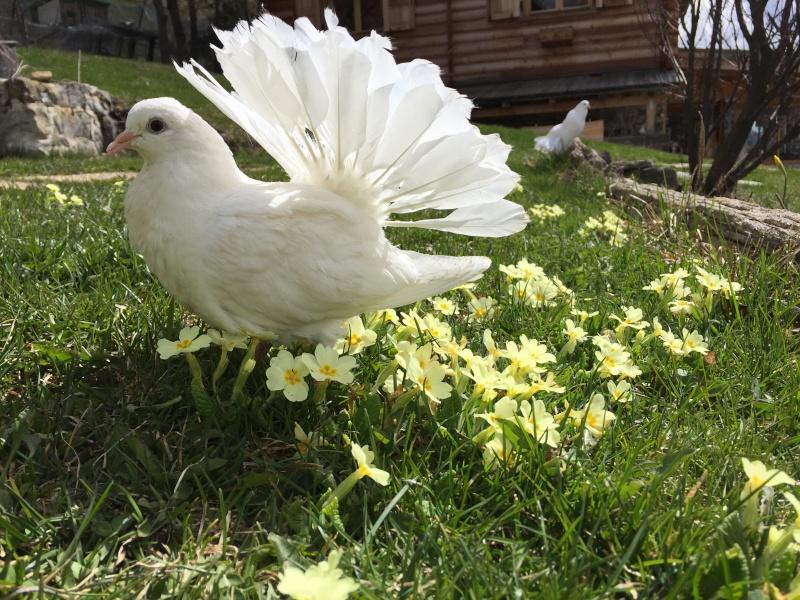 Mes pigeons paon fantail Img_0110