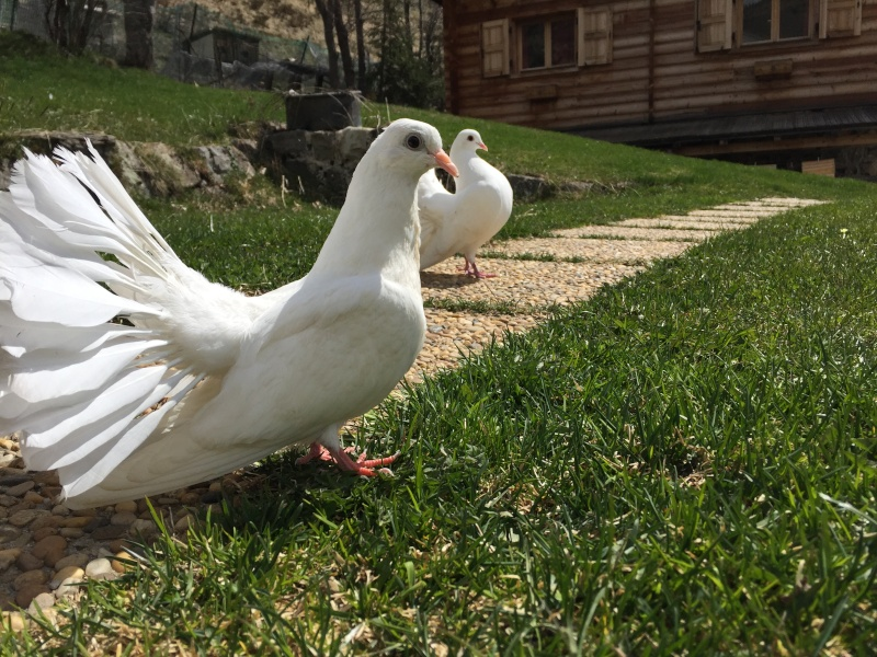 Mes pigeons paon fantail Img_0111