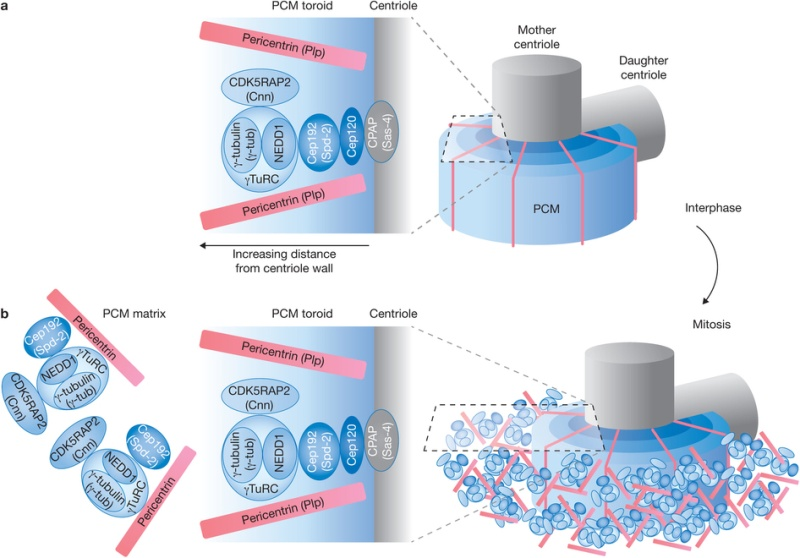 Centriole biogenesis, and the duplication cycle, amazing evidence of design Amorph10
