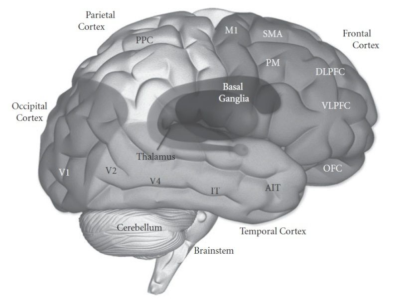 How to explain best the origin and emergence of the brain ?  Brain_10