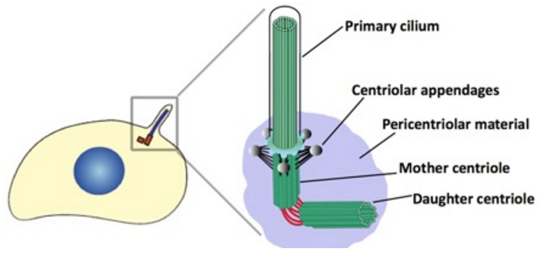 Centriole biogenesis, and the duplication cycle, amazing evidence of design Centri10