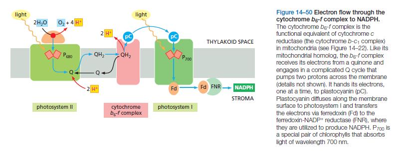 Cytochrome bc complexes, origin, biosynthesis etc. Cytoch10