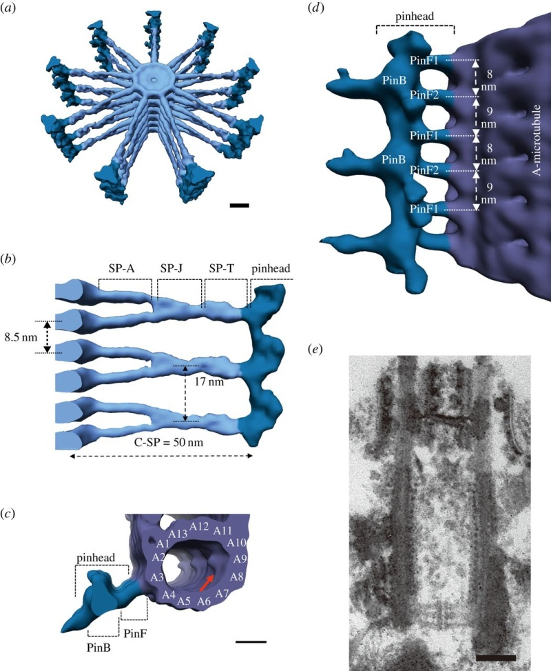 Centriole biogenesis, and the duplication cycle, amazing evidence of design F3_lar10