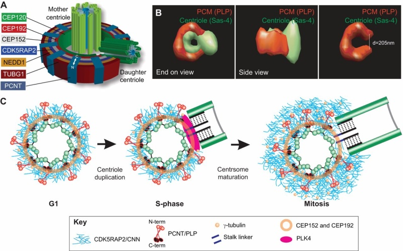 Centriole biogenesis, and the duplication cycle, amazing evidence of design F3_lar11