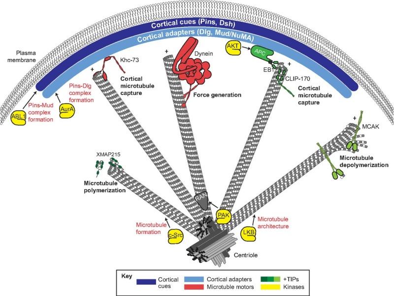 Molecular pathways regulating mitotic spindle orientation in animal cells F4_lar10