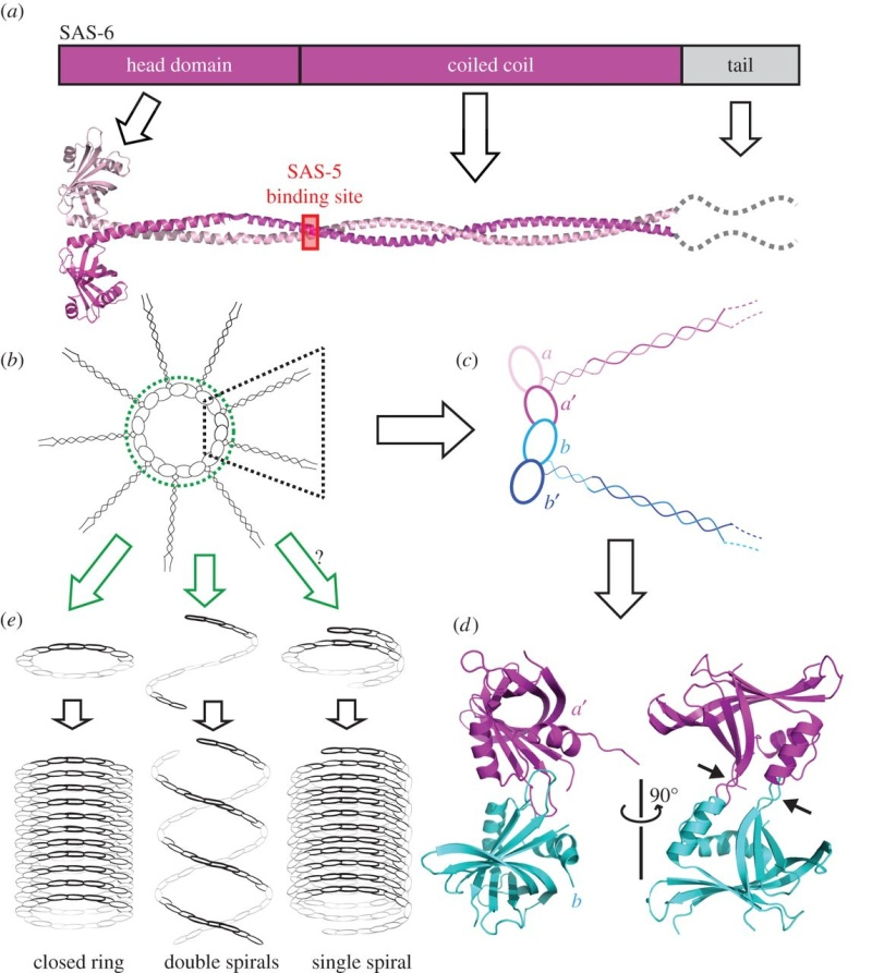 Centriole biogenesis, and the duplication cycle, amazing evidence of design F5_lar10