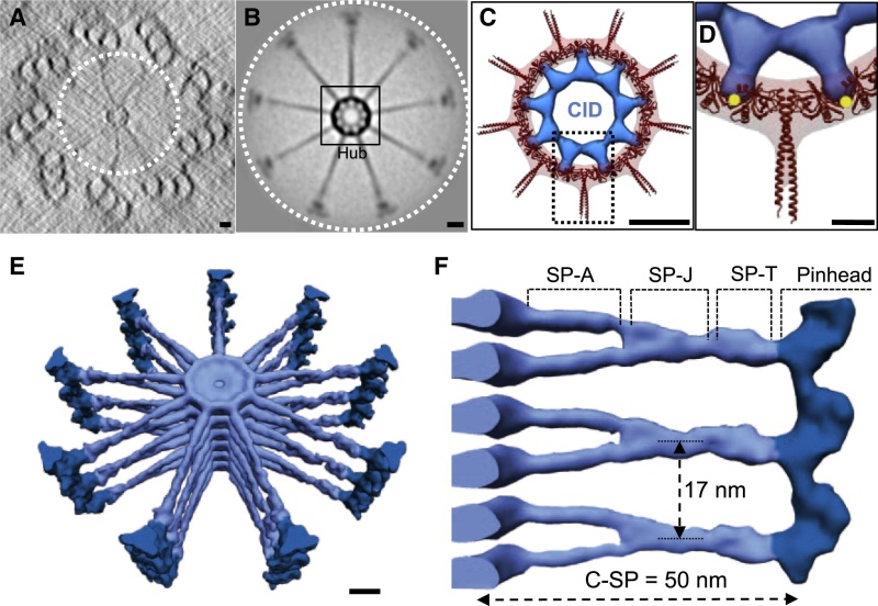 Centriole biogenesis, and the duplication cycle, amazing evidence of design Gr2_lr11