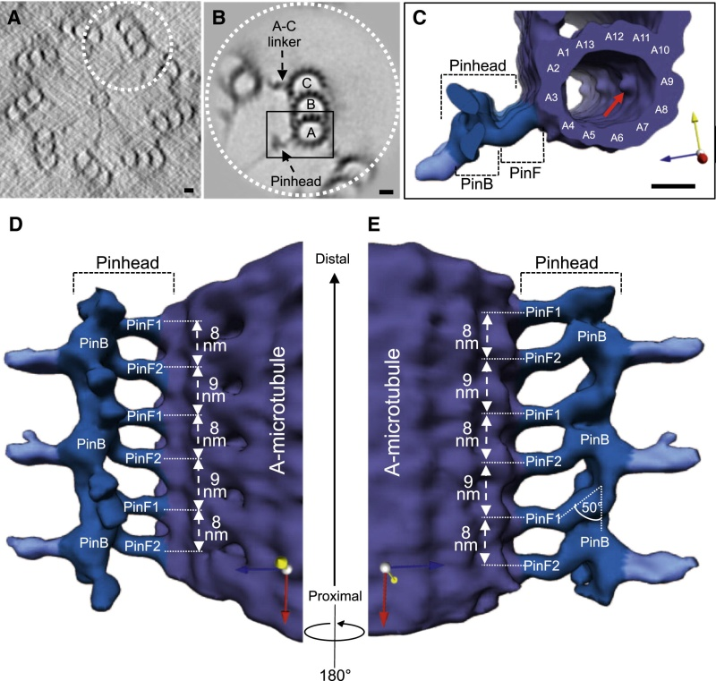 Centriole biogenesis, and the duplication cycle, amazing evidence of design Gr3_lr10