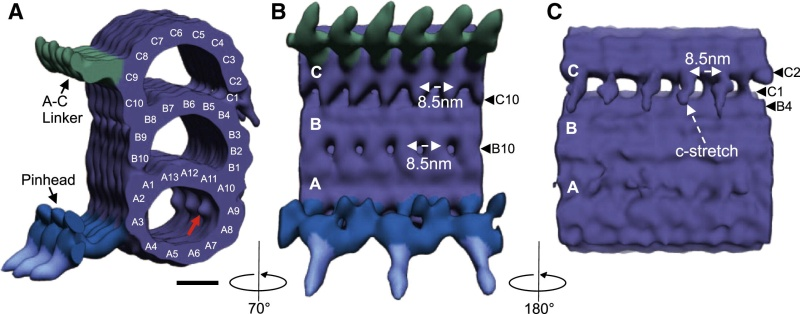 Centriole biogenesis, and the duplication cycle, amazing evidence of design Gr4_lr10