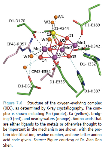 The oxygen evolving complex (OEC) of photosystem II is irreducible complex. Oec10