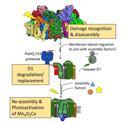 The oxygen evolving complex (OEC) of photosystem II is irreducible complex. Psii_d10