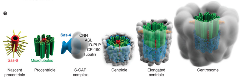 Centriole biogenesis, and the duplication cycle, amazing evidence of design S_cap_10