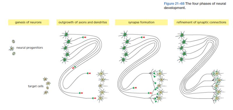 Neural development The_fo10