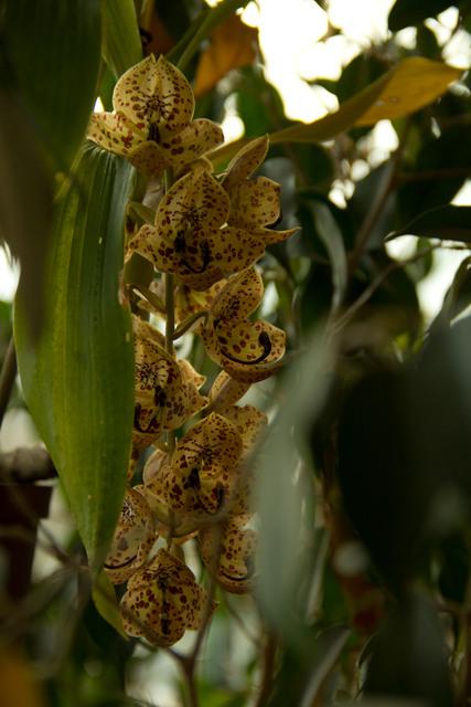 Orchidées sauvages de la Réunion 2012cy10