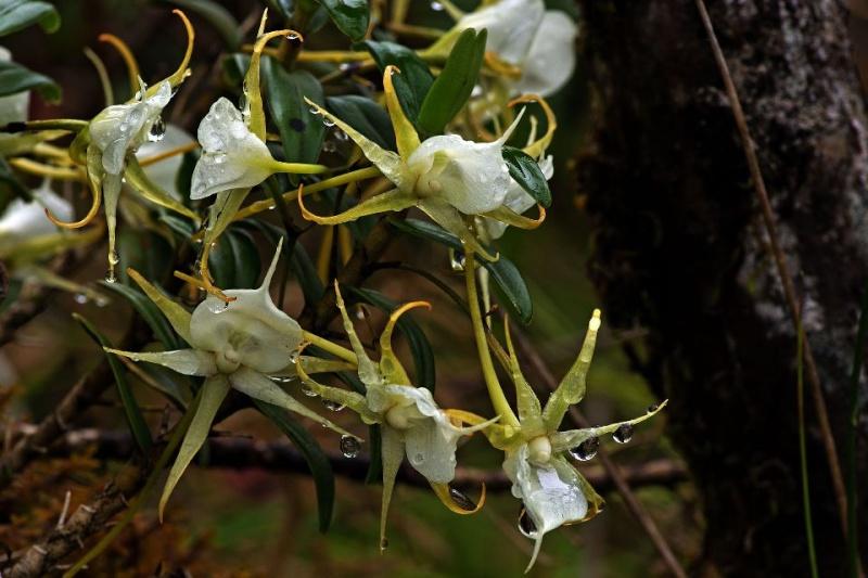 Orchidées sauvages de la Réunion Agraec10