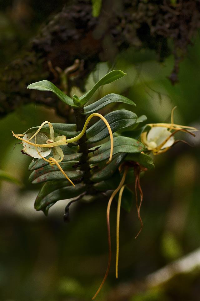 Orchidées sauvages de la Réunion Agraec14