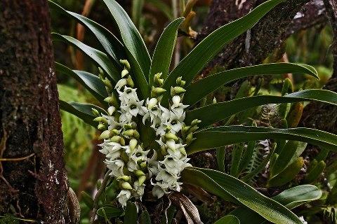 Orchidées sauvages de la Réunion Angrae10
