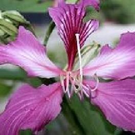 Orchidées sauvages de la Réunion - Page 6 Bauhin10