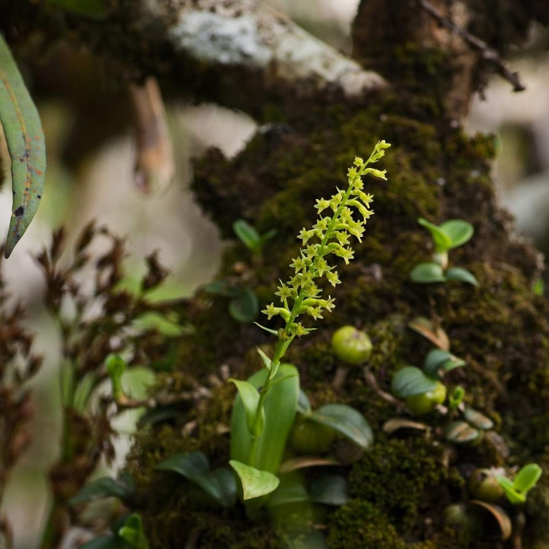 Orchidées sauvages de la Réunion - Page 4 Bentha11