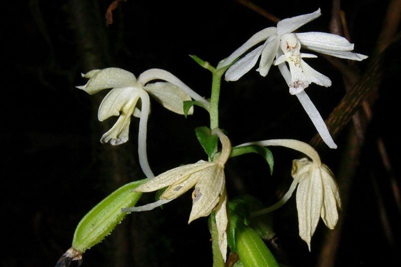 Orchidées sauvages de la Réunion - Page 6 Calant10