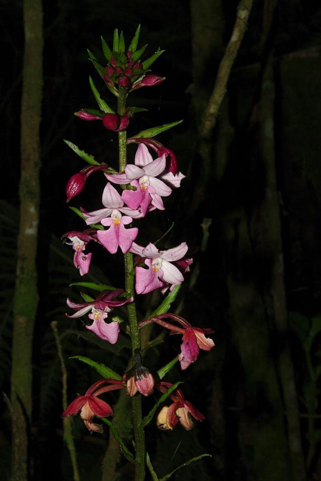Orchidées sauvages de la Réunion - Page 6 Calant11