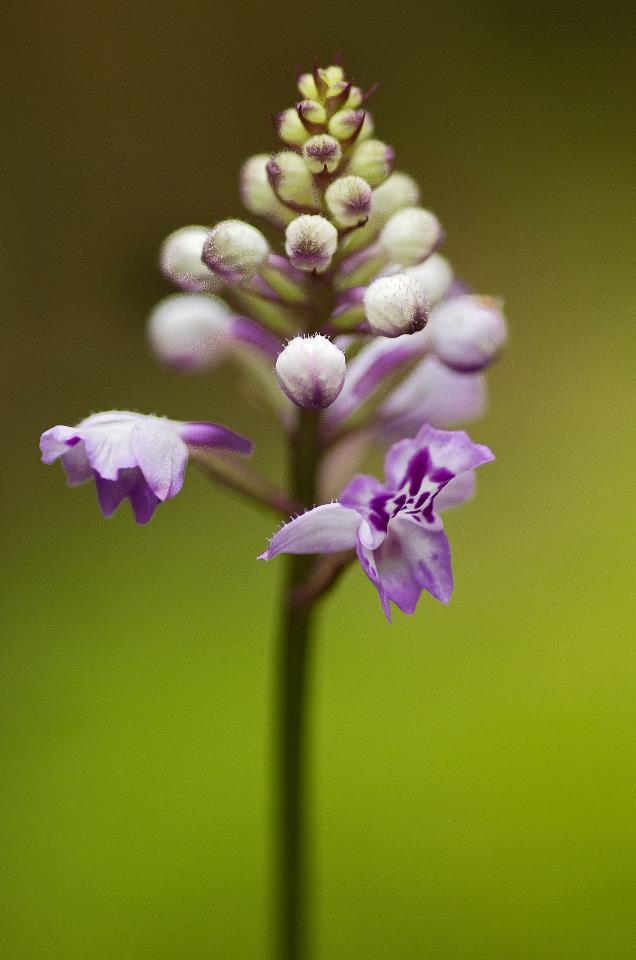 Orchidées sauvages de la Réunion Cynork10