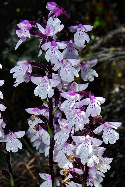 Orchidées sauvages de la Réunion - Page 7 Cynork11