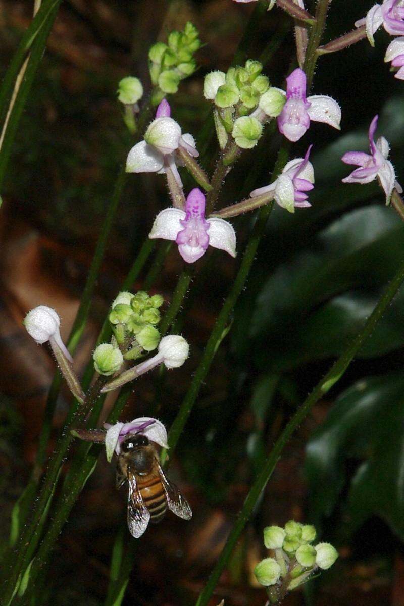 Orchidées sauvages de la Réunion - Page 9 Cynork16