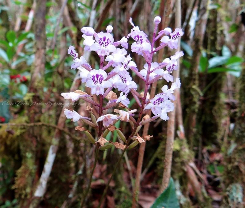 Orchidées sauvages de la Réunion - Page 9 Cynork17