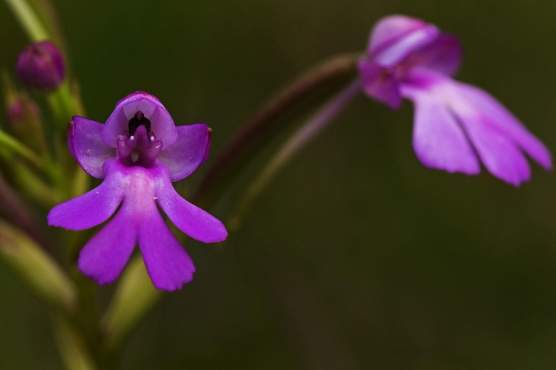 Orchidées sauvages de la Réunion - Page 8 Dans_l10