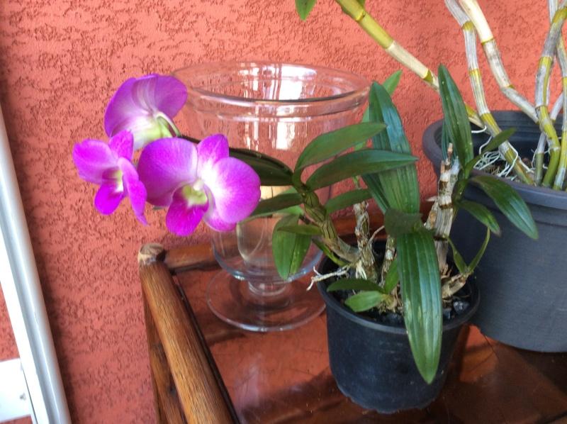 dendrobium phalaenopsis hybride sonia Dendro10