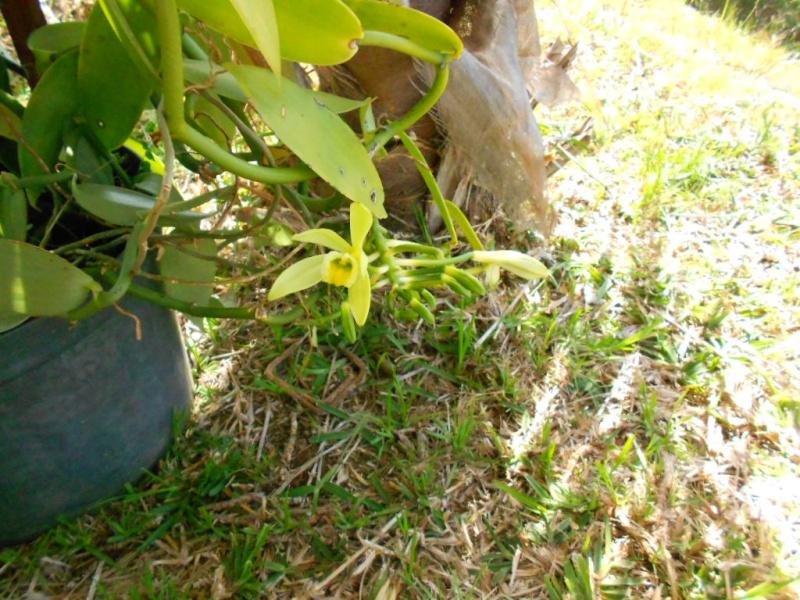 la fleur de vanille  Dscn1510