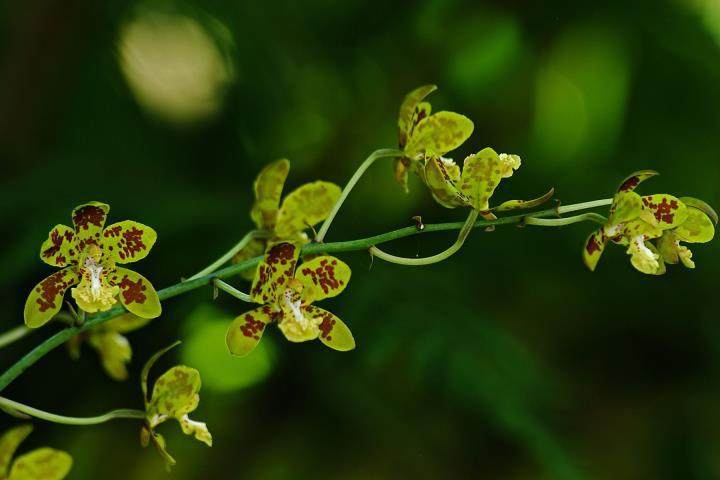 Orchidées sauvages de la Réunion - Page 9 Grapho10