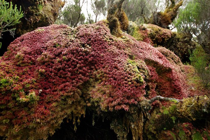 Orchidées sauvages de la Réunion - Page 9 Lycopo10