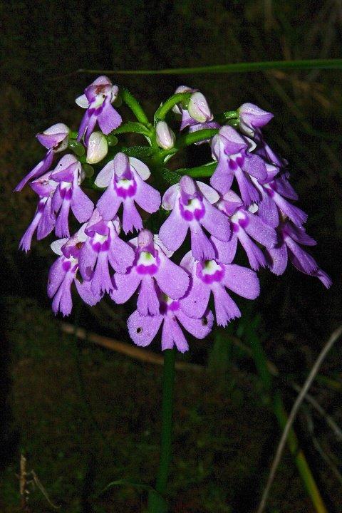 Orchidées sauvages de la Réunion - Page 9 Physoc11
