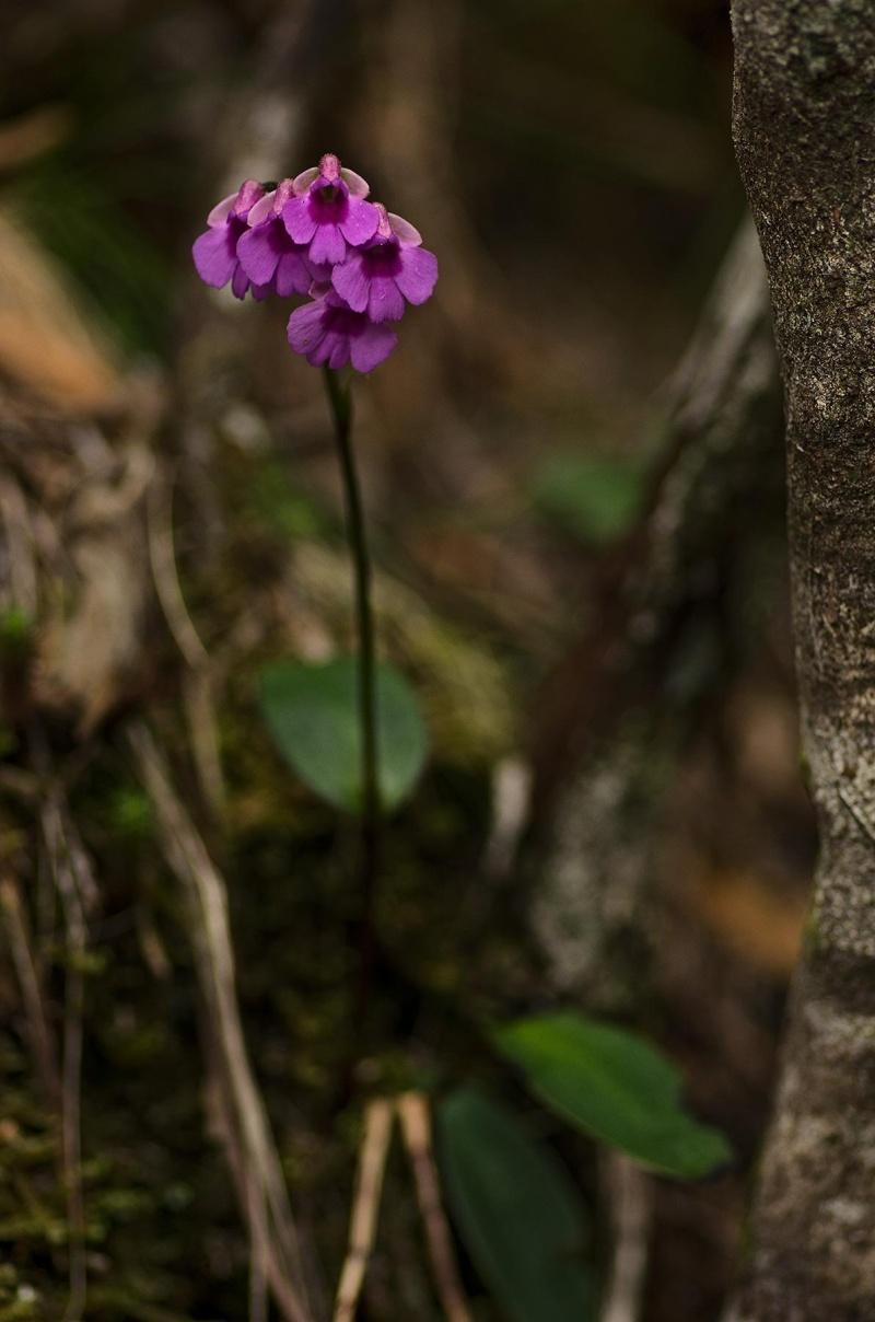 Orchidées sauvages de la Réunion - Page 9 Psysoc10