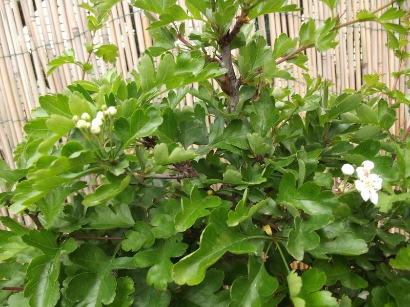 prime fioriture stagionali - Pagina 2 Dscf2012