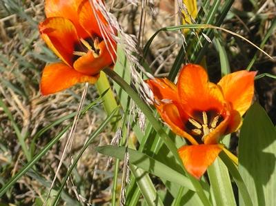 Tulipe de Crète, Tulipa saxatilis Imgp0071
