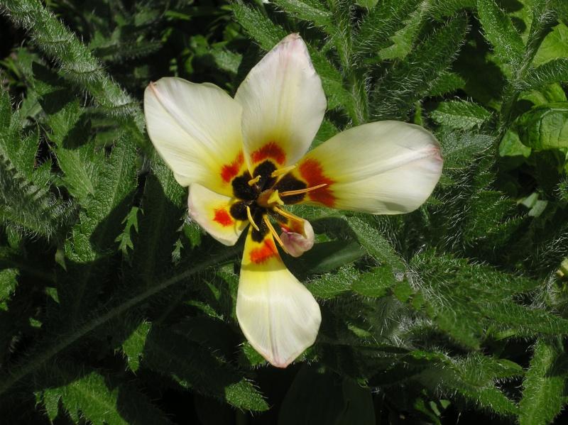 Tulipe de Crète, Tulipa saxatilis Imgp0073
