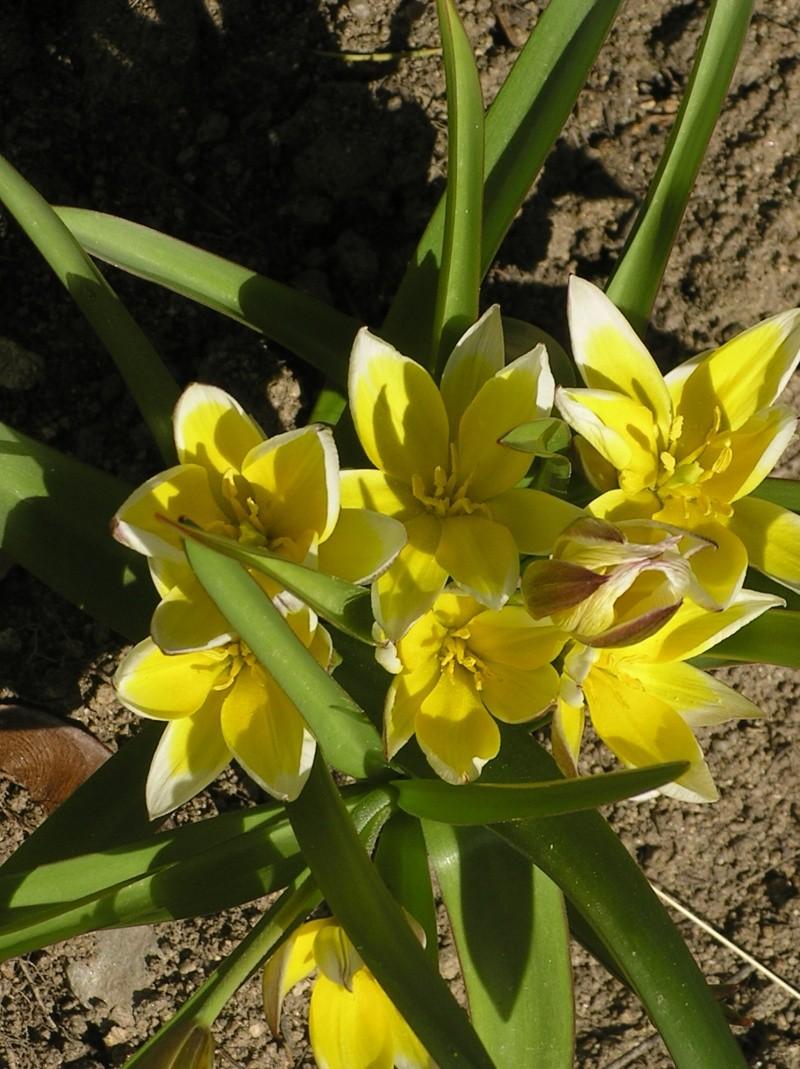 Tulipe de Crète, Tulipa saxatilis Imgp0075