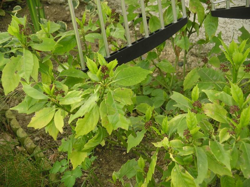 arbuste N°1:Aucuba Japonica Rozannie Imgp0112