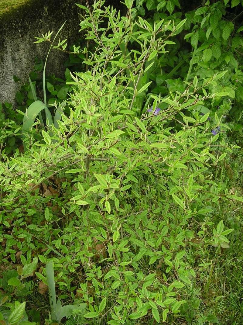 arbuste N°3 Imgp0120