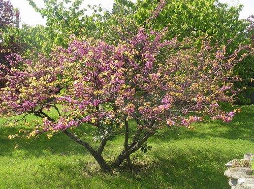 arbre de Judée........... Cercis siliquastrum - Page 2 Imgp0145