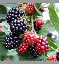 Symbole du Totem Rubus_10