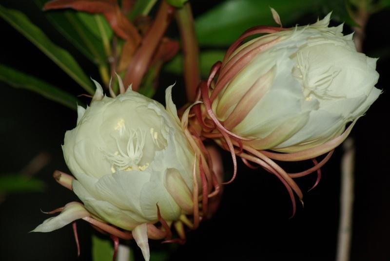 Epiphyllum oxypetalum Imgp7312