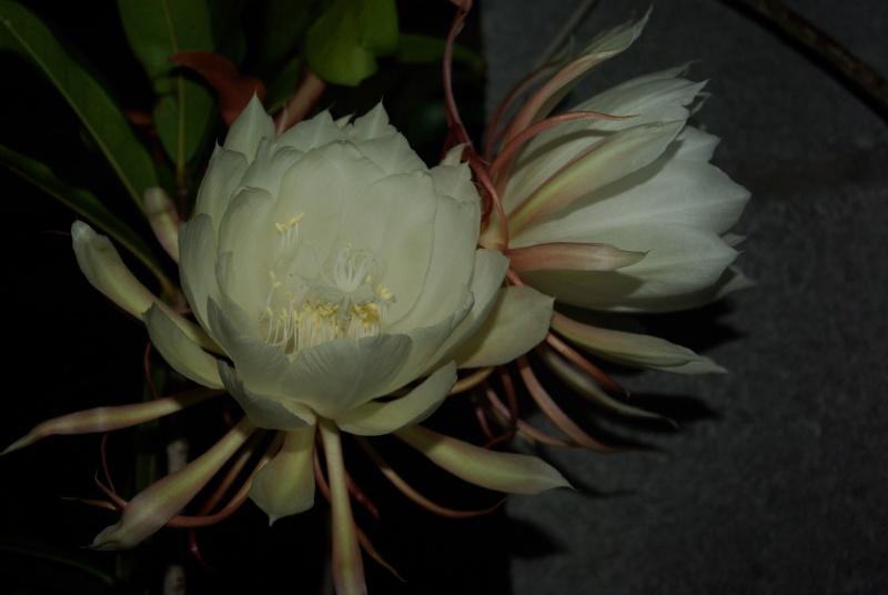 Epiphyllum oxypetalum Imgp7314