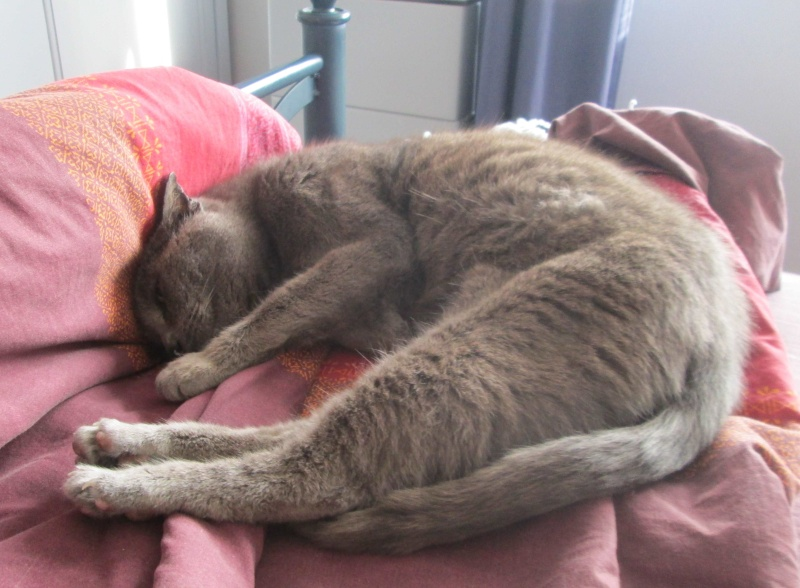 E.T., chat typé chartreux, né en 2009, en DON LIBRE Et_1010
