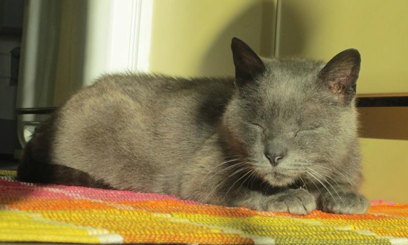 E.T., chat typé chartreux, né en 2009, en DON LIBRE Et_1210