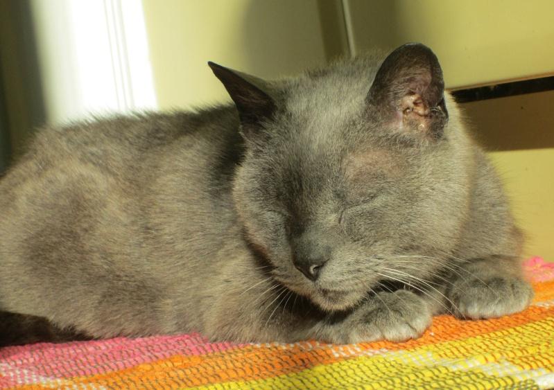 E.T., chat typé chartreux, né en 2009, en DON LIBRE Et_1310